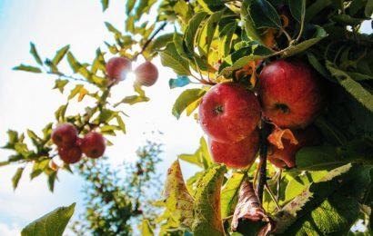De bedste frugttræer til havesjov i det nye 2021 klima